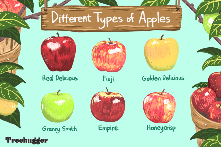 different types of apples illustration