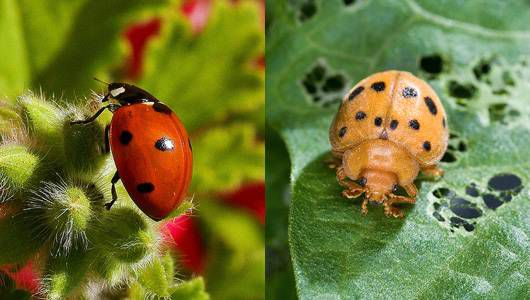 lady bug vs bean bug