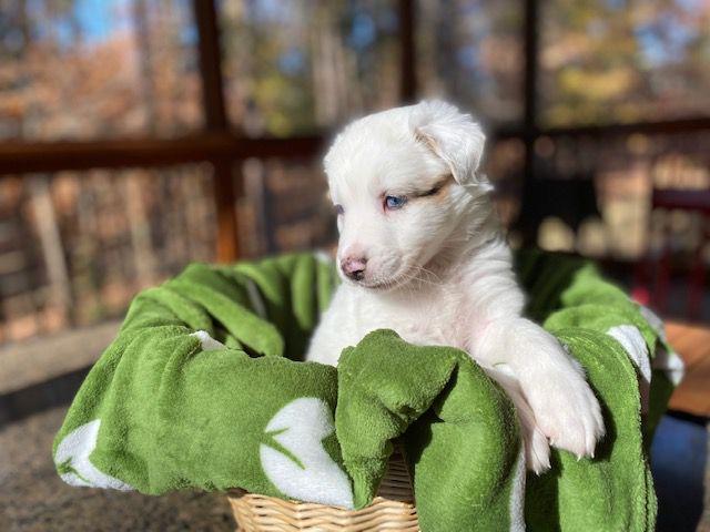 Treehugger foster puppy Attie