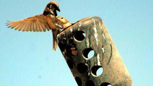 A sparrow feeds its young nesting in the barrel of an anti-aircraft gun at the Al-Asad airbase in Iraq in 2004.