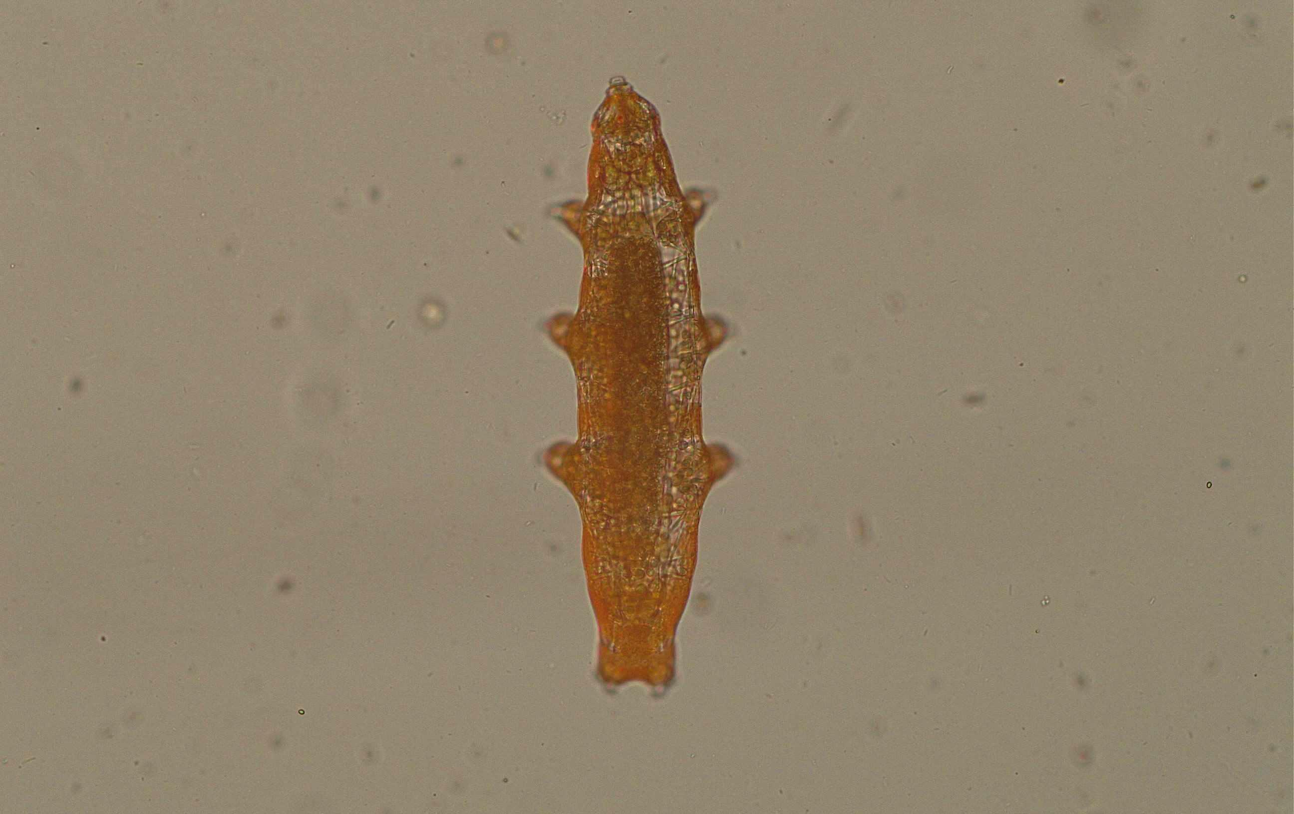 tardigrade magnified 40x under microscope