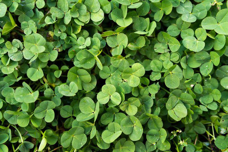 closeup clover lawn