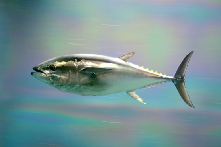 Pacific bluefin tuna swimming