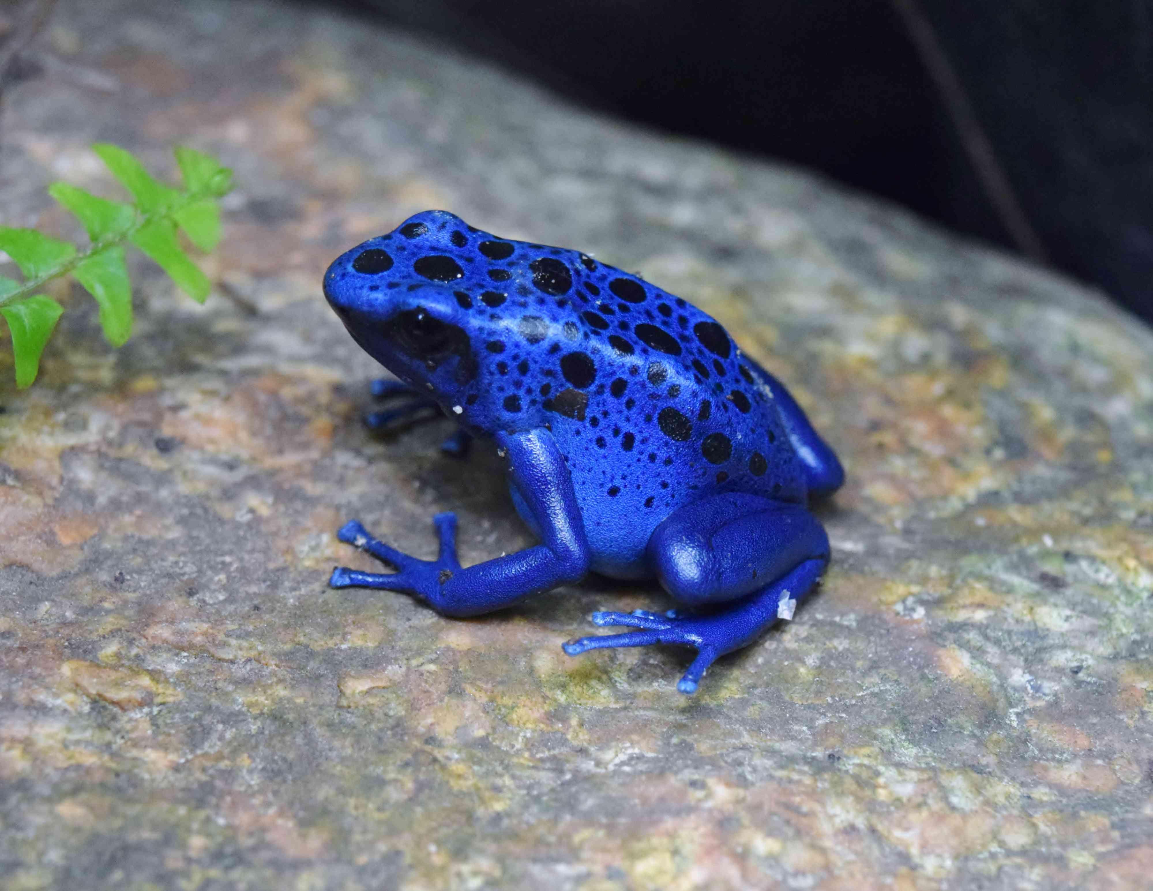 Blue poison dart frog with black spots sitting on rock