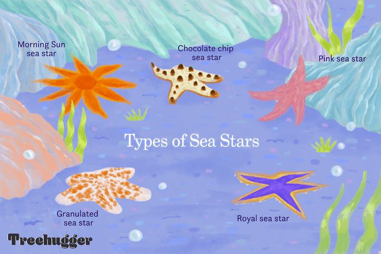 types of sea stars