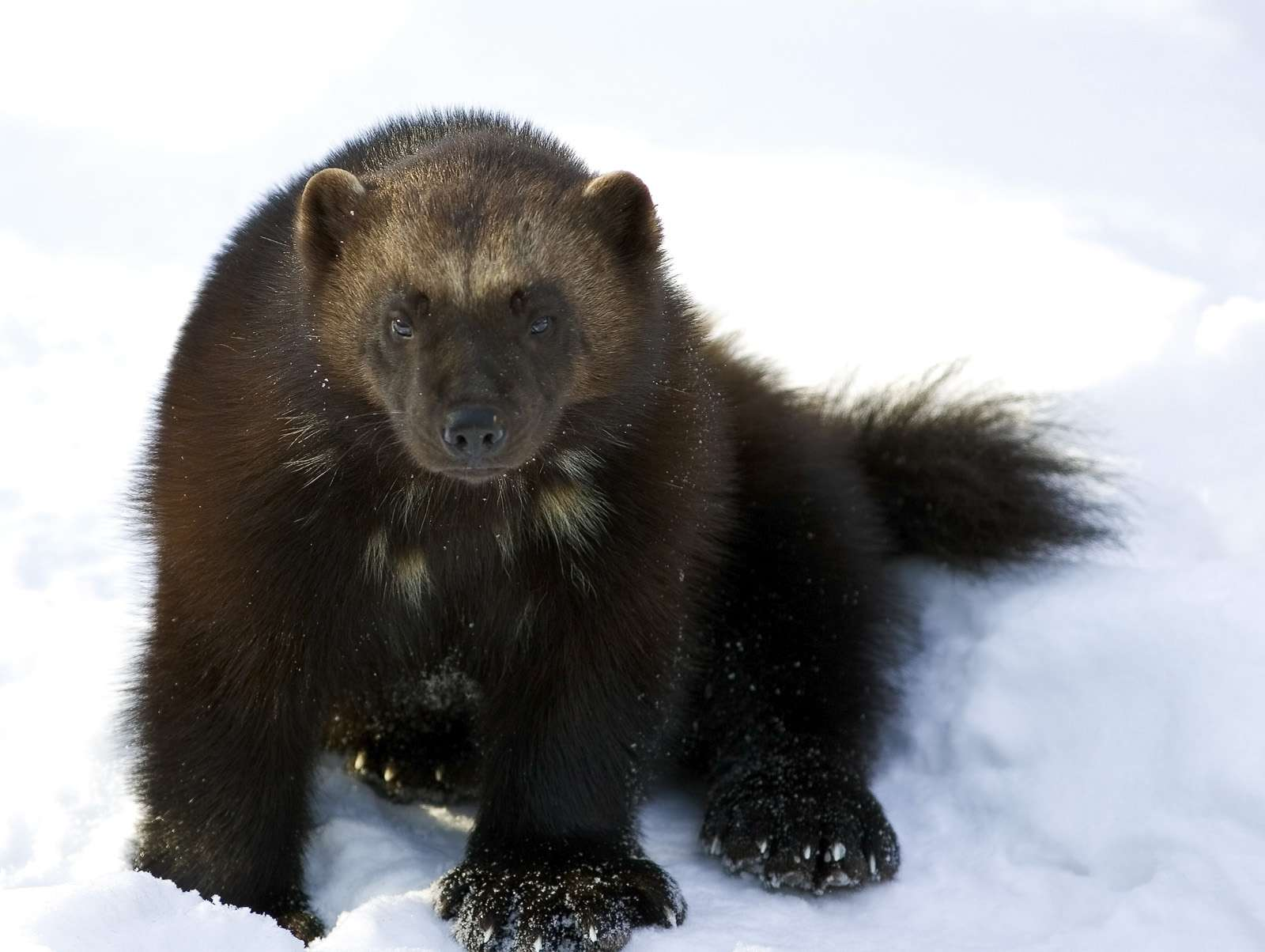 A wolverine in the snow