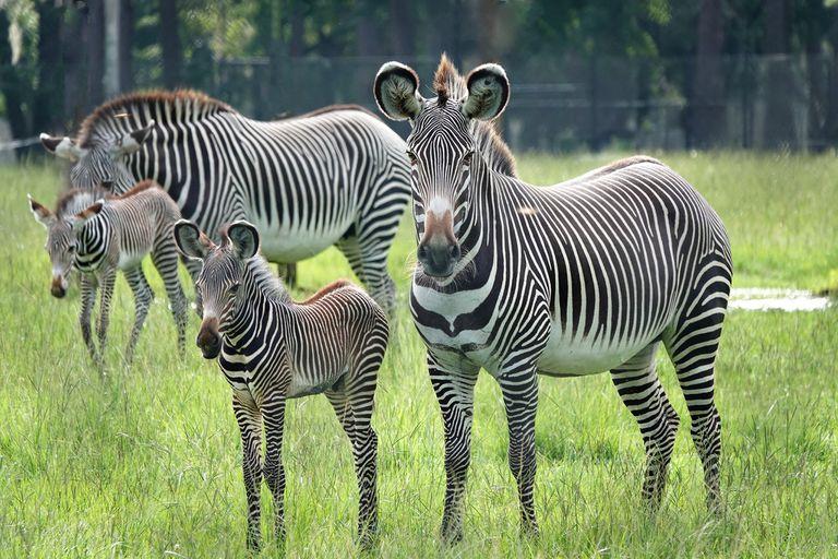 Grevy's zebras