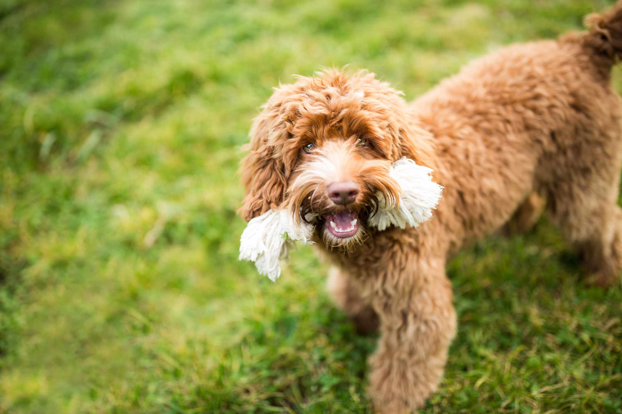 Playful Labradoodle Puppy with Toy