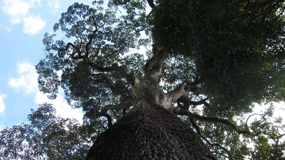 View looking up at the Patriarca da Floresta tree