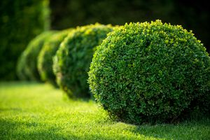 A row of rounded boxwood shrubs