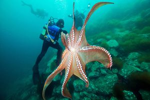 A giant Pacific octopus with its tentacles spread wide is taller than the scuba diver standing on the reef next to it.