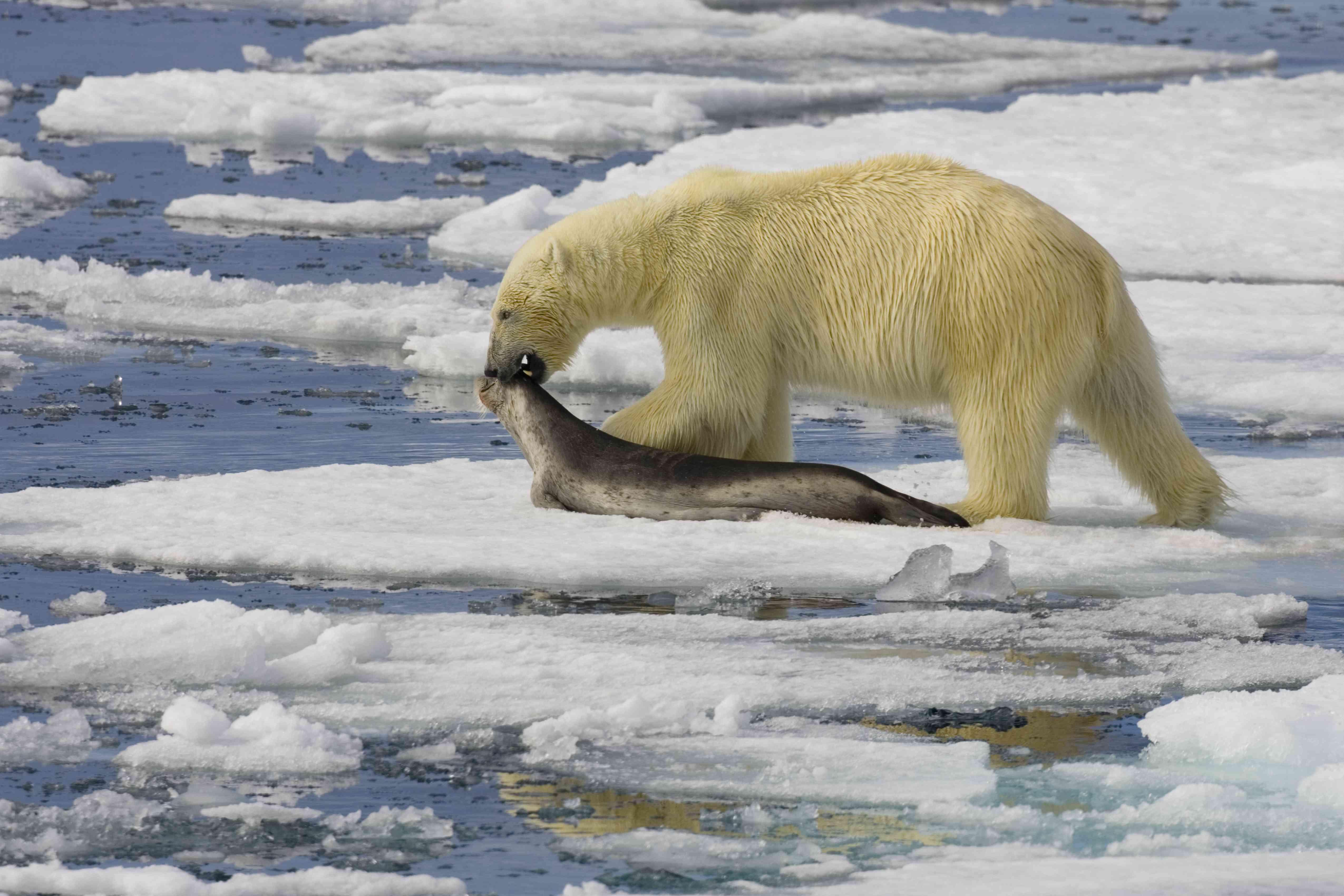 A polar bear drags a seal along a patch of Arctic sea ice.