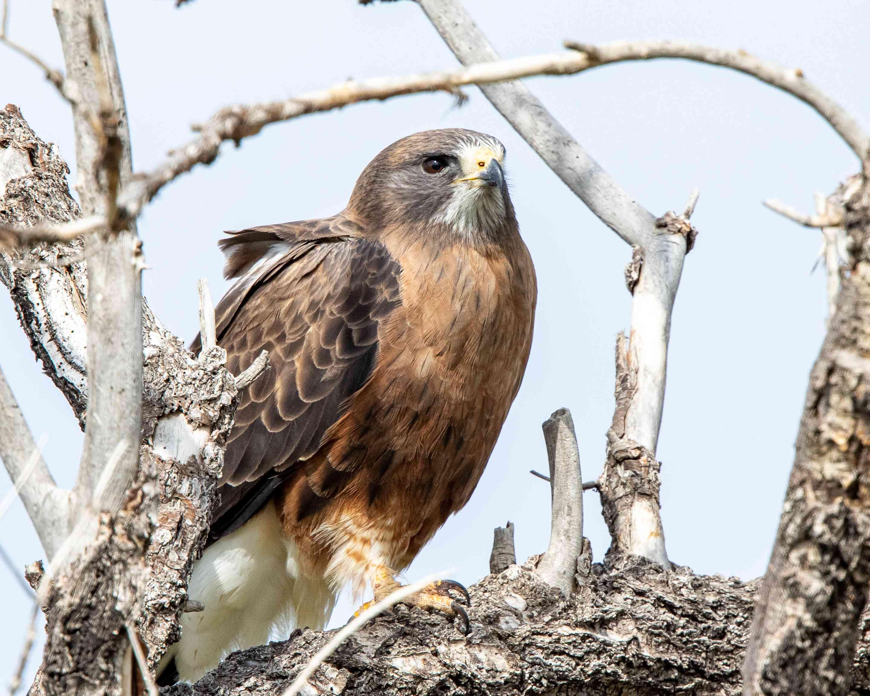 Portrait of a Swainson's Hawk