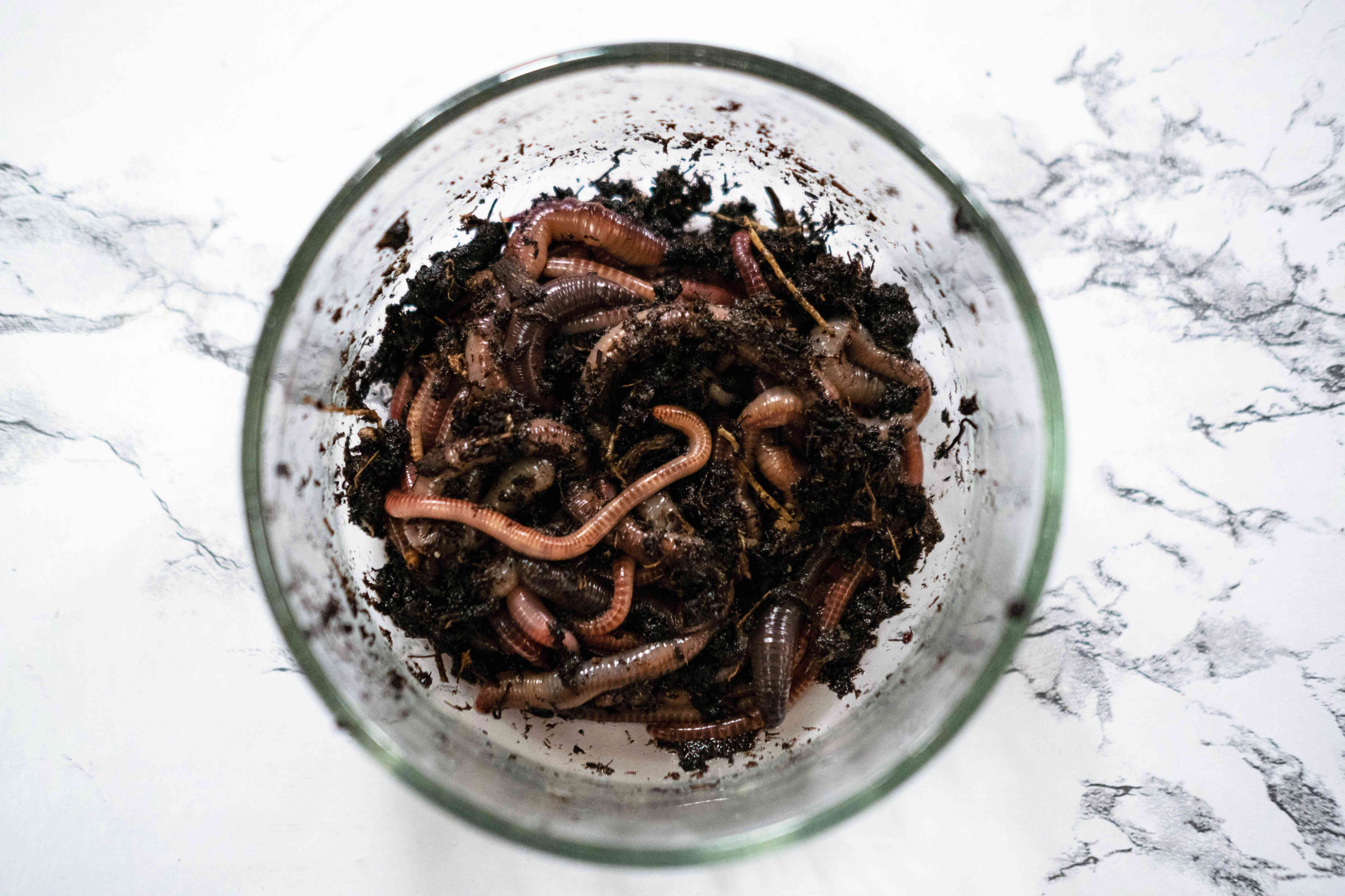 overhead view of red wiggler worms in dirt in a glass bowl
