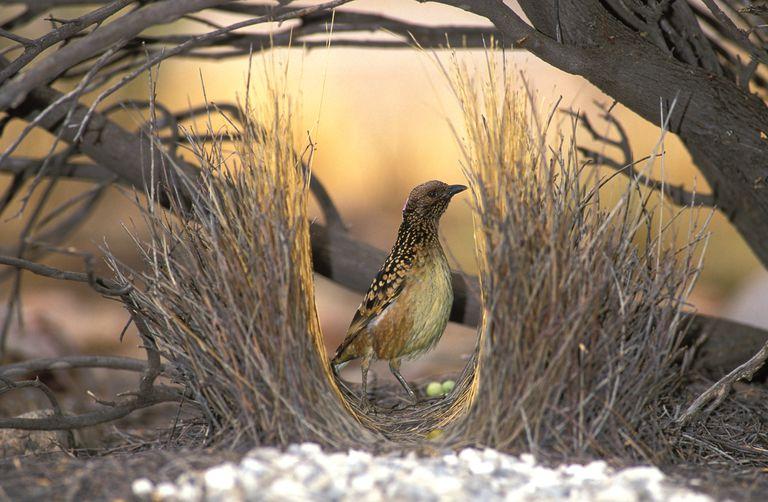 A Western Bowerbird (Chlamydera guttata) in Central Australia.