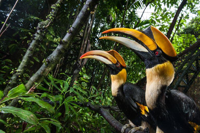 Great hornbills in the rainforest in Thailand