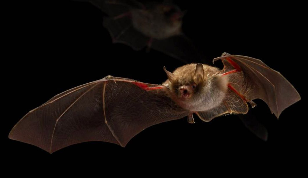 The species Myotis nattereri, one of several bat species whose feeding habits are adversely impacted by artificial light.