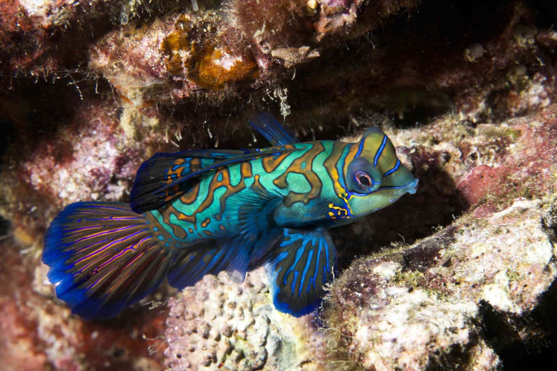 A bright blue, green, and gold Mandarinfish on an algae-covered reef