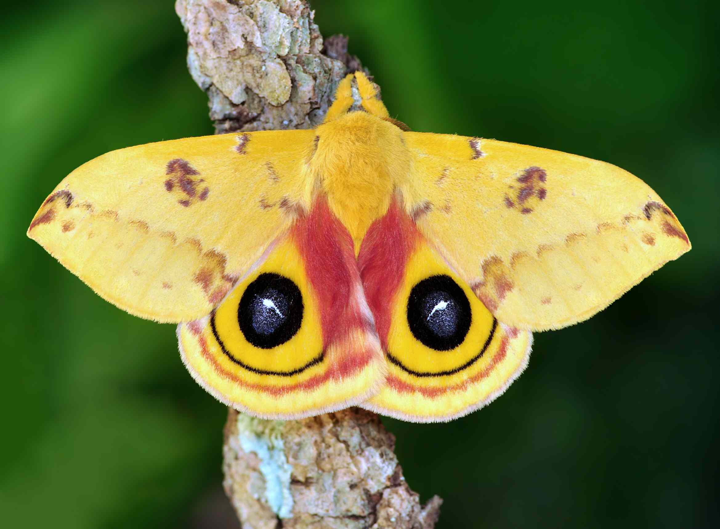A yellow moth with large black eyespots sits on a branch