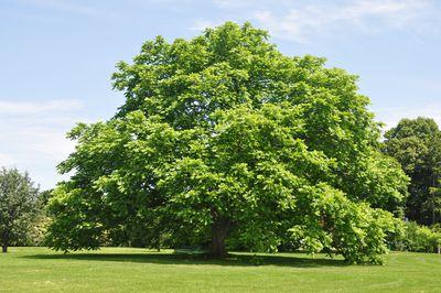 butternut tree in a field