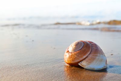 A large Nautilus shell on a beach at the water's edge