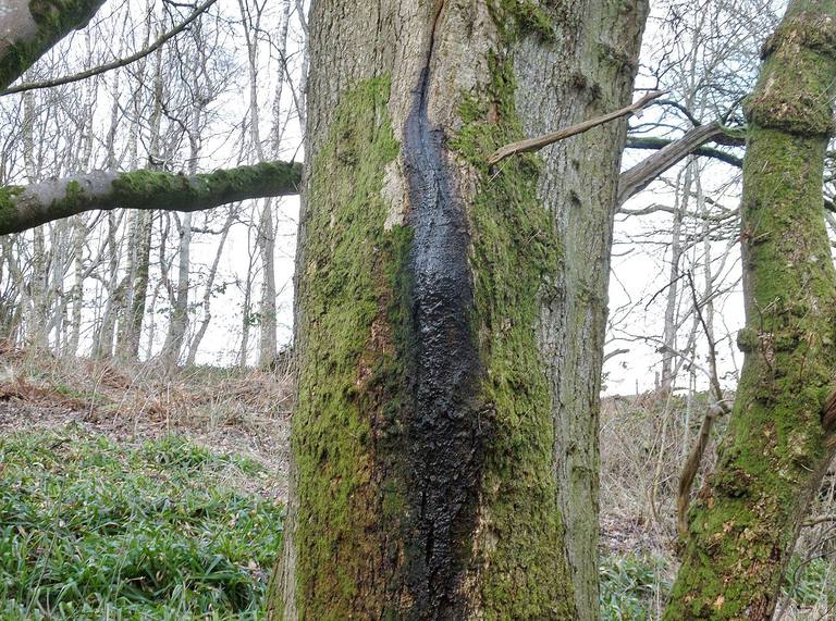 Bacterial Wetwood on Lime (Tilia sps) at Kingencleugh next to the River Ayr, East Ayrshire, Scotland.