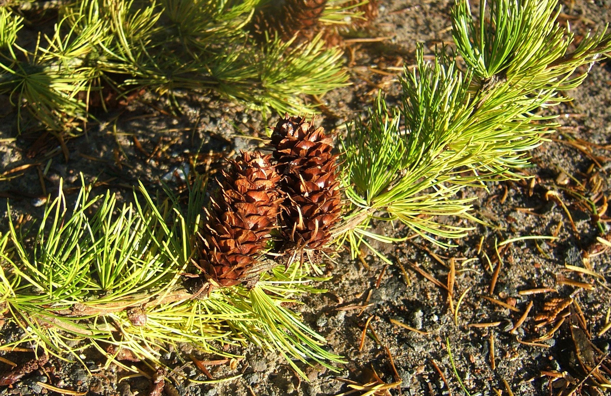 Western larch cones