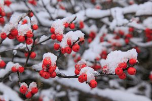 Winterberry Holly (Ilex Verticellata) red berries under early winter snowfall, in Long Lake, Adirondack Park, USA