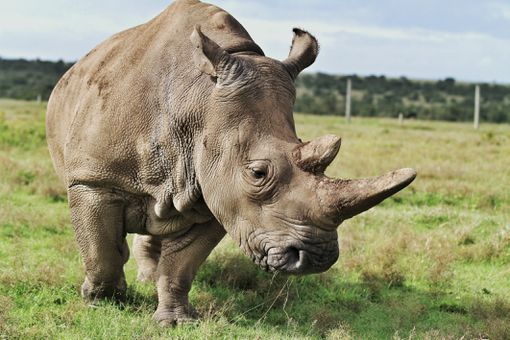 A northern white rhino in Kenya, Africa