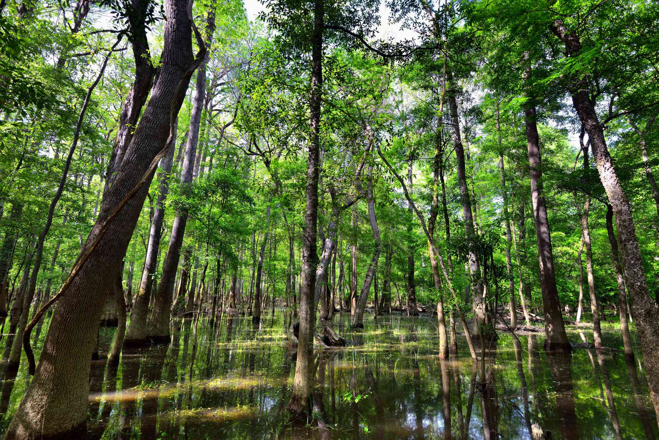 tall, green cypress trees within the marsh of Congaree National Park