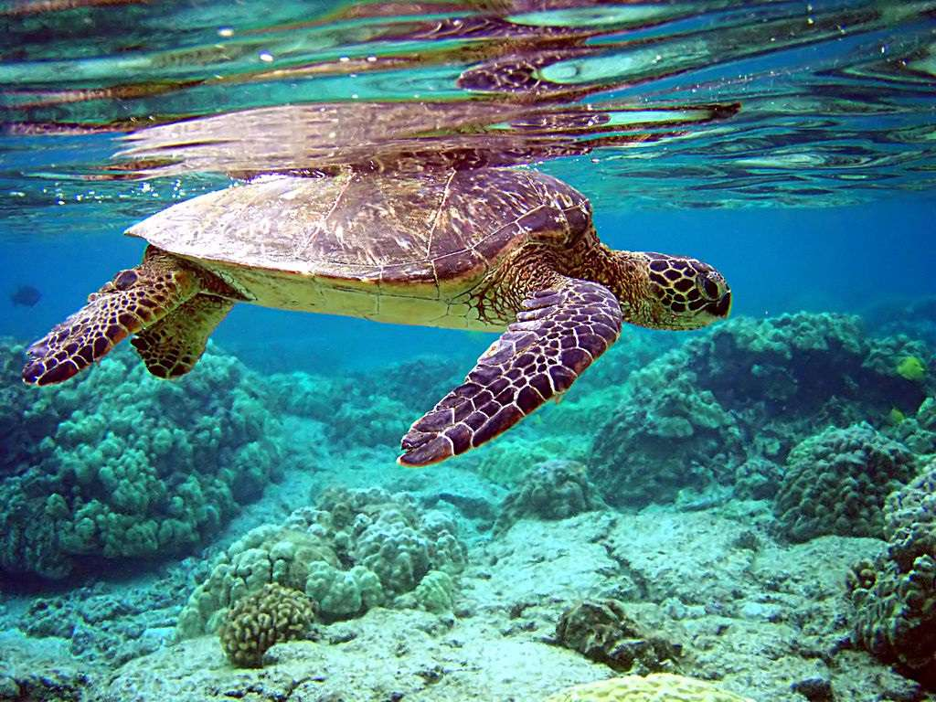 A green sea turtle swimming in shallow water over a reef.