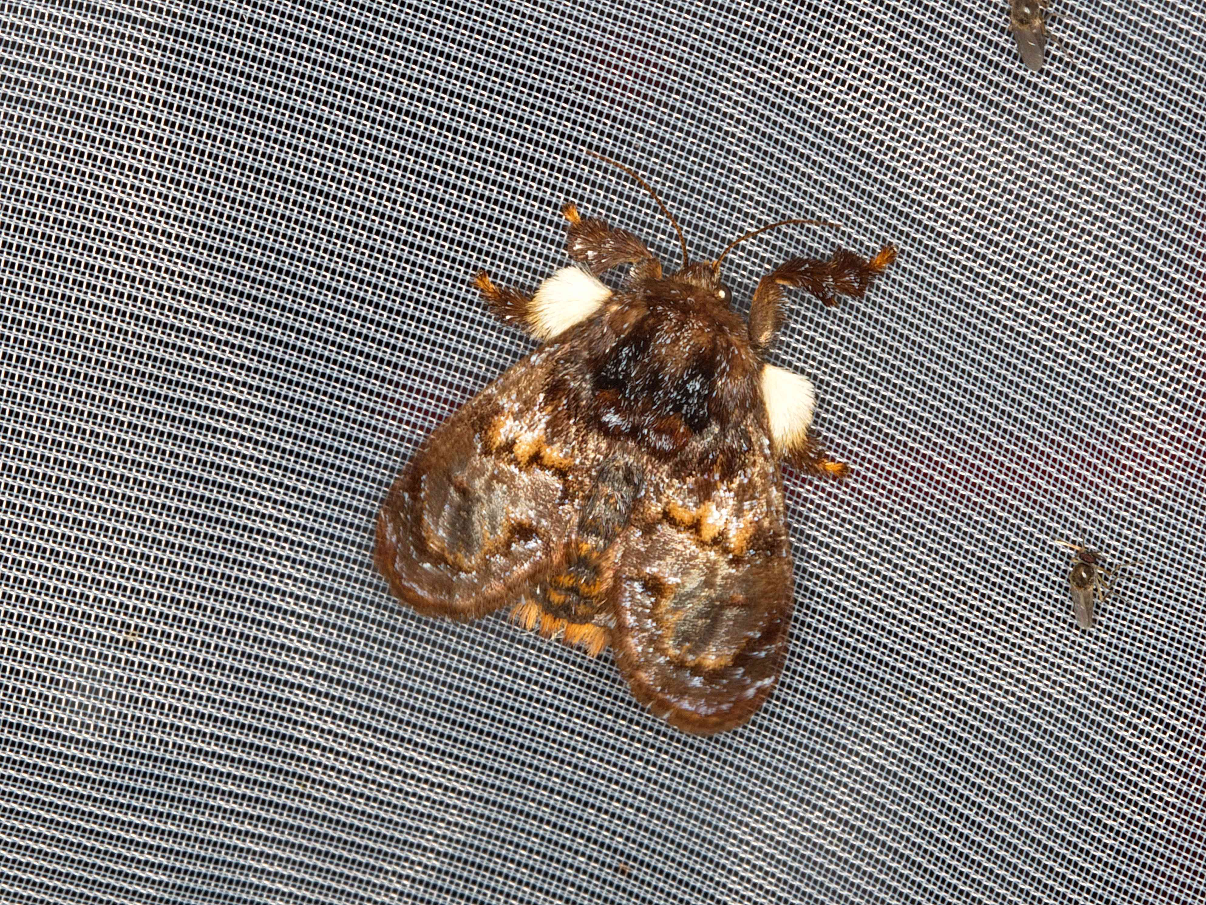 A brown hag moth with furry legs on a metal surface