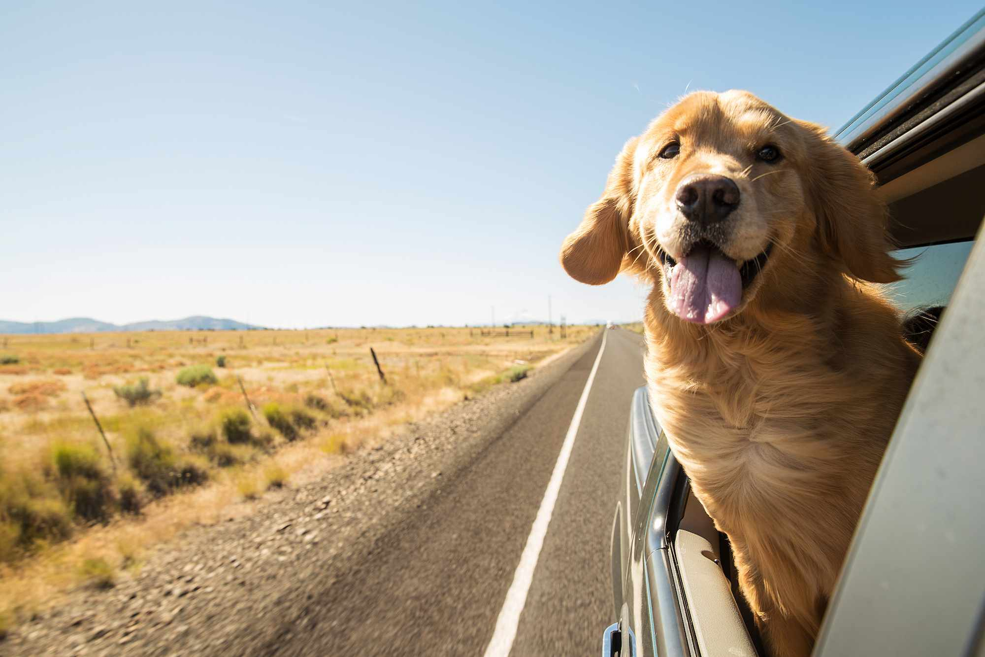 dog sticking head out of car on road trip