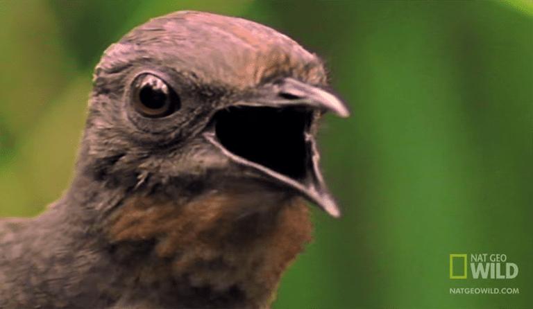 Este pájaro imita perfectamente motosierras, persianas de cámara y más