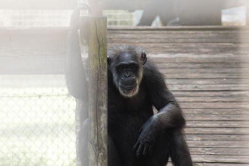Emily the chimp poses