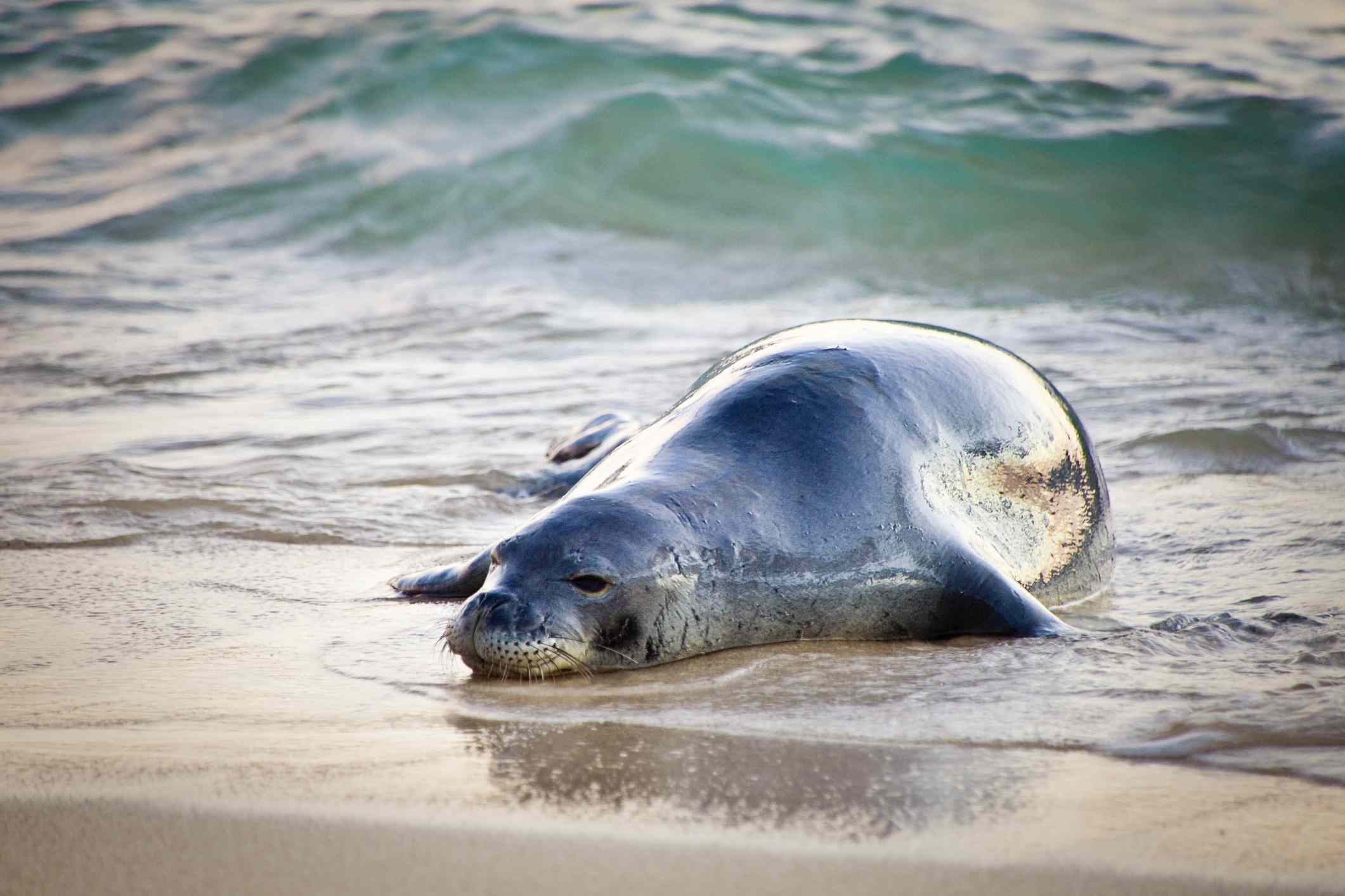 Hawaiian monk seal lying on its belly on the sand