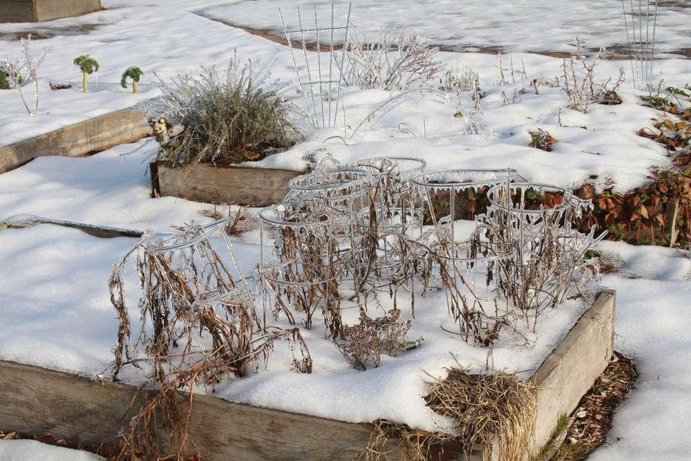 dead tomato plants in garden bed