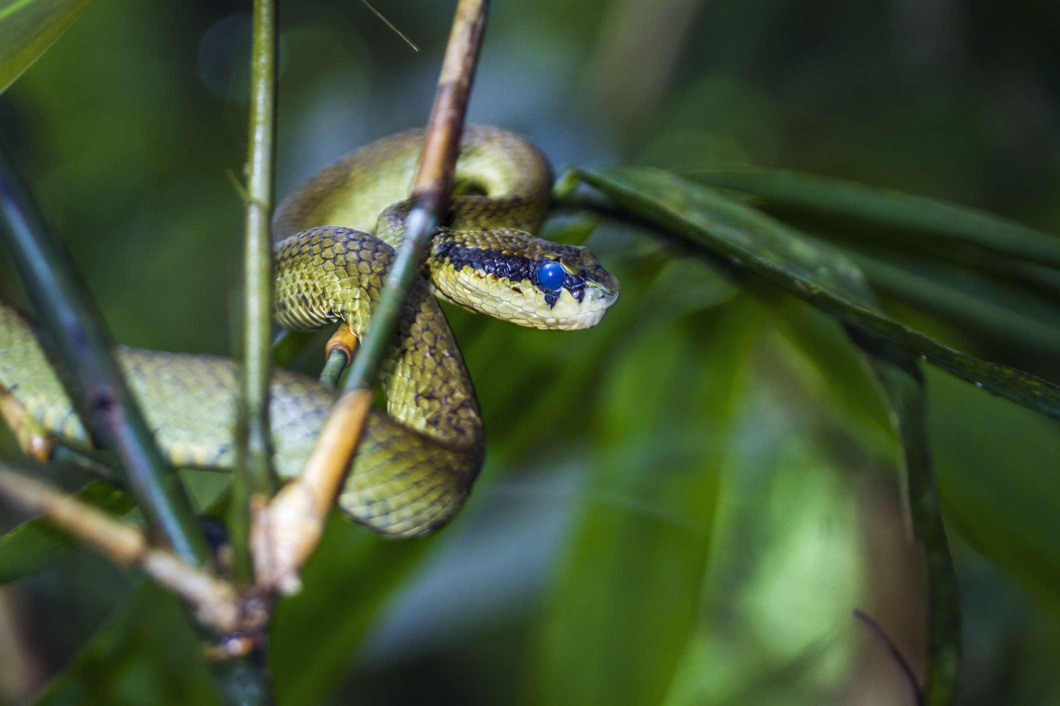 Sri Lankan pit viper snake