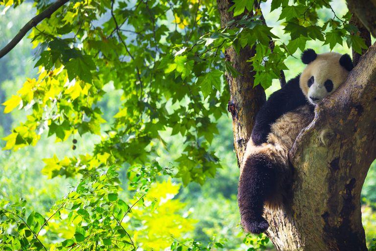 Panda resting in a tree ( Chengdu ; Sichuan ; China )