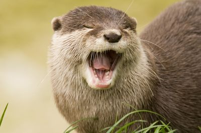 Light brown river otter with closed eyes and an open mouth