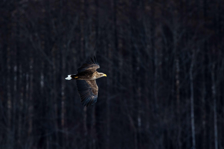 white-tailed eagle flying in Hokkaido, Japan
