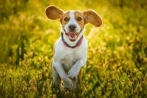 Beagle running in a grassy field