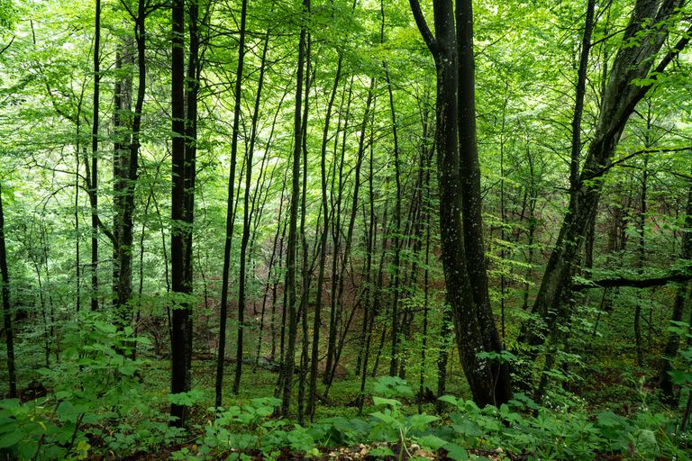green and lush thickly wooded forest with skinny trees