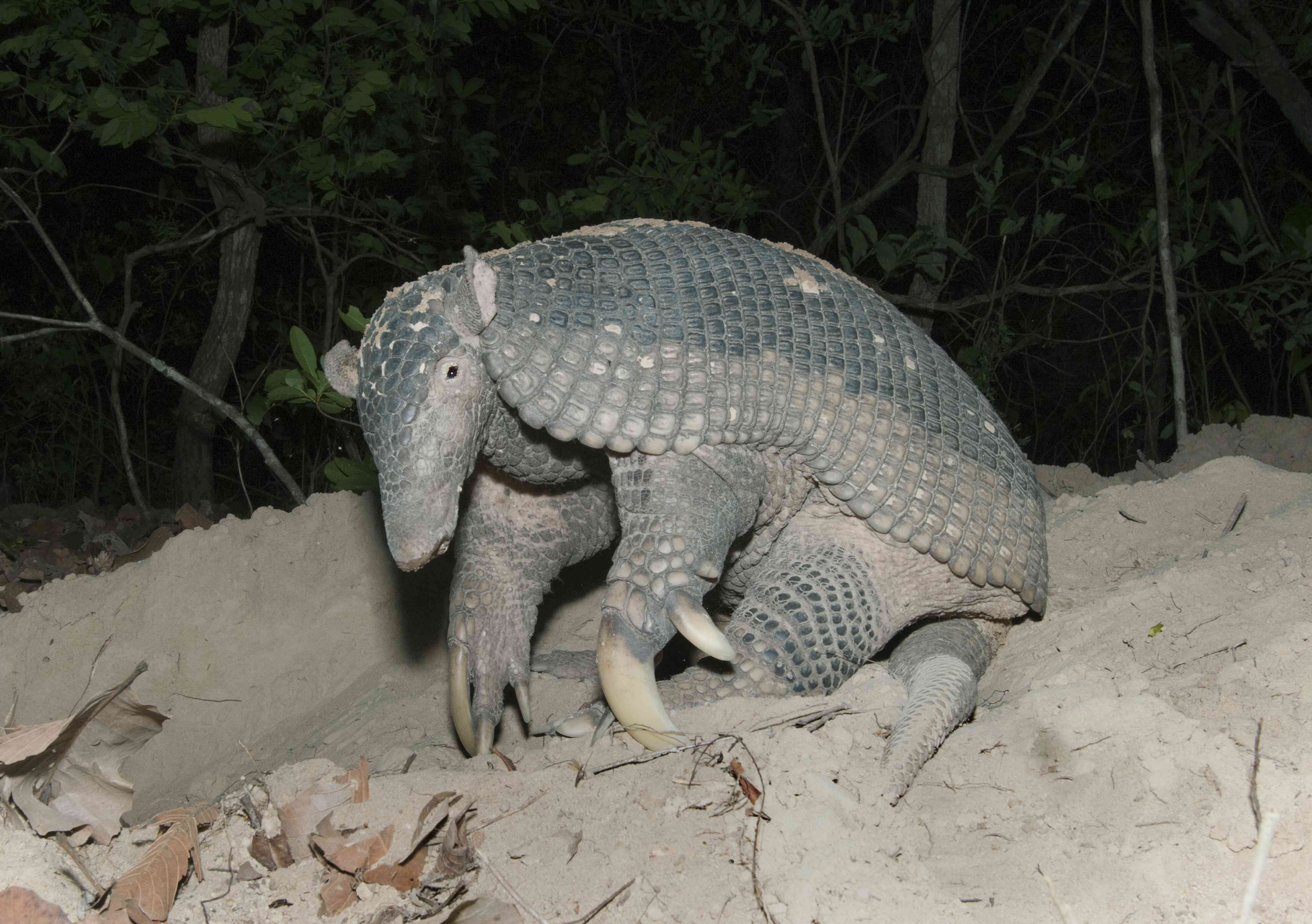 Nighttime photo of giant armadillo with large claws, prominent ears, and light brown and black carapace