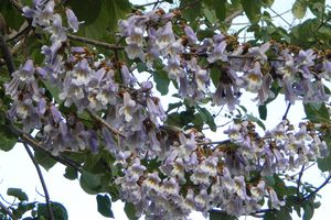 Royal Paulownia purple blossoms hanging from a tree with green leaves.