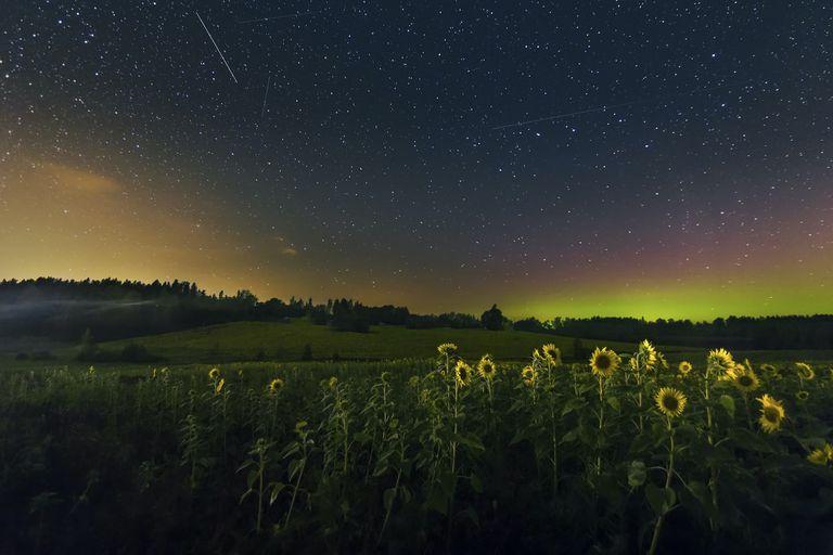 sunflowers at midnight