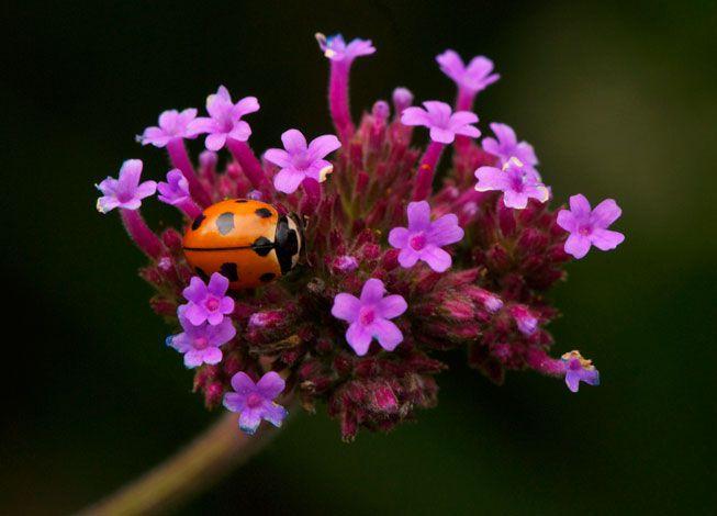A 9-spotted ladybug crawls along a flower