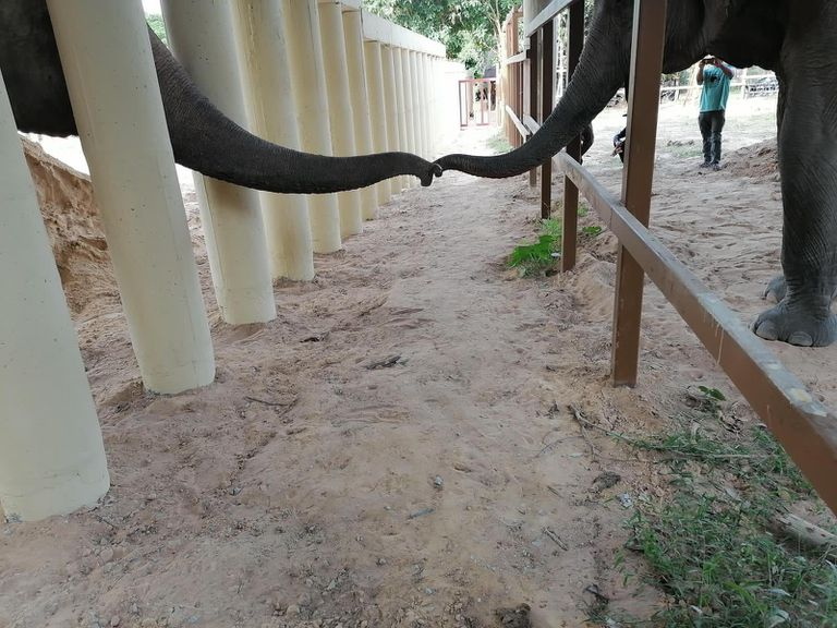 Kaavan reaches out to another elephant at his new sanctuary home.