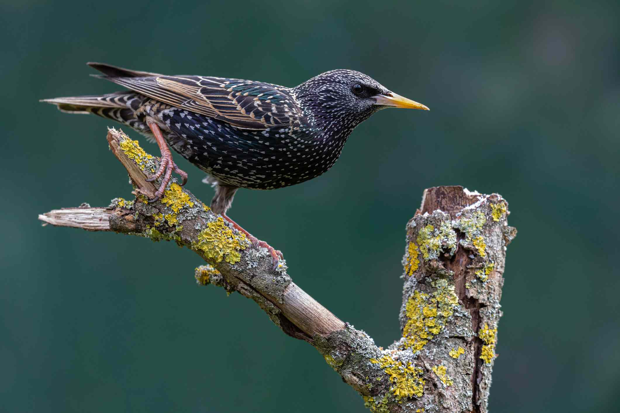 A dark bird with white speckles perching on a tree limb