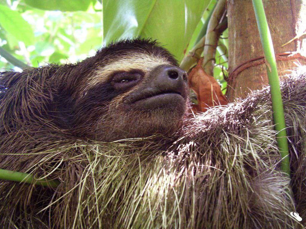 3 toed pygmy sloth hugs vine and looks relaxed